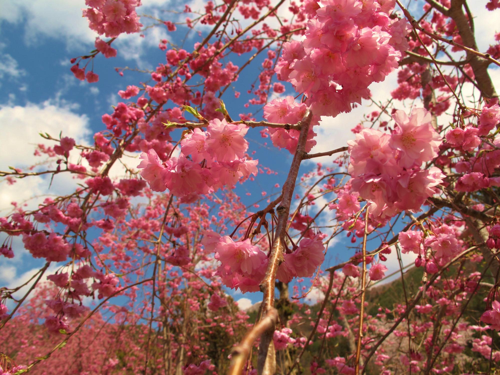 (I think it is) Sakura in Japan